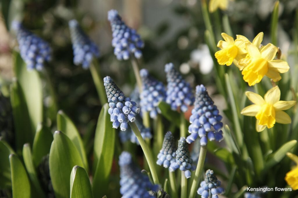 Mascari spring flowers