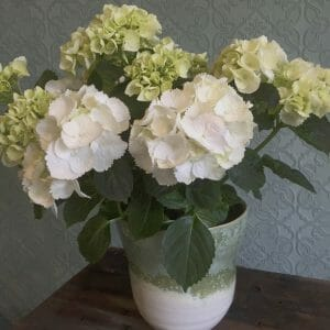 Sample photo of a single Seasonal Plant in Pot - Hydrangea